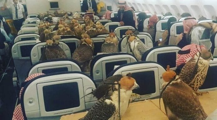 Picture of the Week – Come Fly With Hawks – Saudi royal buys plane tickets so his hawks can fly (first class, of course)