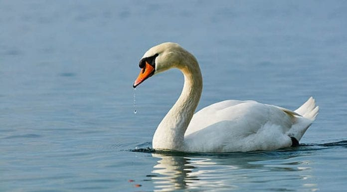 Save The Swan – Matthew Steeples highlights that not only the appalling case of swans being shot but also other problems facing these majestic birds.