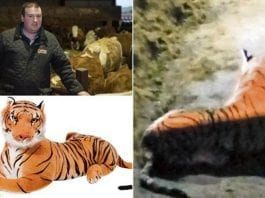 """Tigger Bounces into a Cowshed – Armed standoff over cuddly toy – Scottish farmer Bruce Grubb caused an armed standoff after calling police to """"tackle a tiger on the loose""""; it turned out to be a giant cuddly toy"""