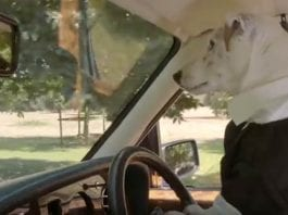 Video of the Week – Wedding Dogs – Sir Benjamin Slade's Maunsel House films a promotional YouTube video featuring a dog driving a Bentley
