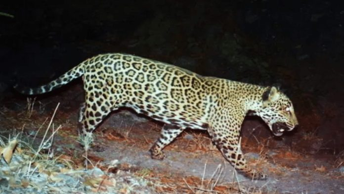 Trump's Jaguar Wall – Donald Trump to make jaguar extinct in US – As the 'Guardian' reveals Trump's border wall construction is threatening the survival of jaguars in the US, our petition to get his endangered animal slaying supporter Larysa Switlyk banned from Instagram tops 13,000 signatures.