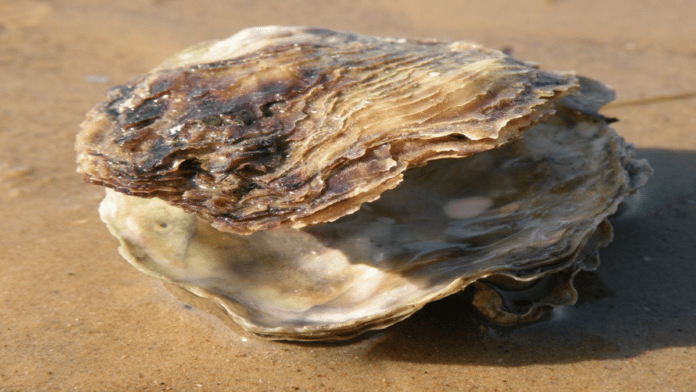 Oysters Ahoy! Reappearance in Belfast Lough for first time in 100 years – Native oysters reappear in Belfast Lough after 100 years of absence without any human intervention.