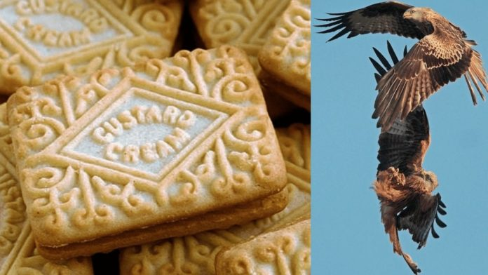 Custard Cream Gate 2021 – After 'Bingate' comes red kite raiding – After 'Bingate' comes 'Custard Cream Gate' in ritzy Henley-on-Thames with a red kite attacking a toddler for a custard cream.